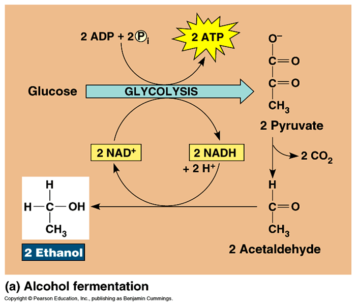 fermentation of alcohol Fermentation is the process by which yeast converts the glucose in the wort to ethyl alcohol and carbon dioxide gas-- giving the beer both its alcohol content and its.
