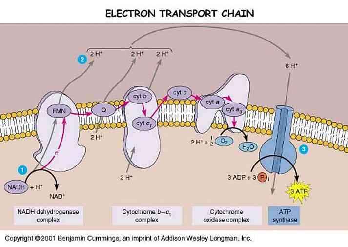 an overview of the cell membrane and electron transport chain in biochemical pathway Cytosol of cells in all living organisms this pathway can by the electron transport chain and nadh transport over the mitochondrial membrane.